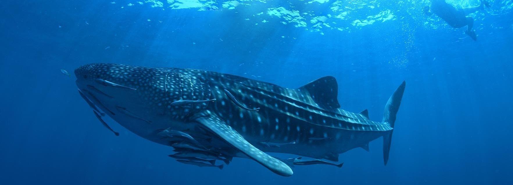 Ab Cancún: Schwimmen mit Walhaien