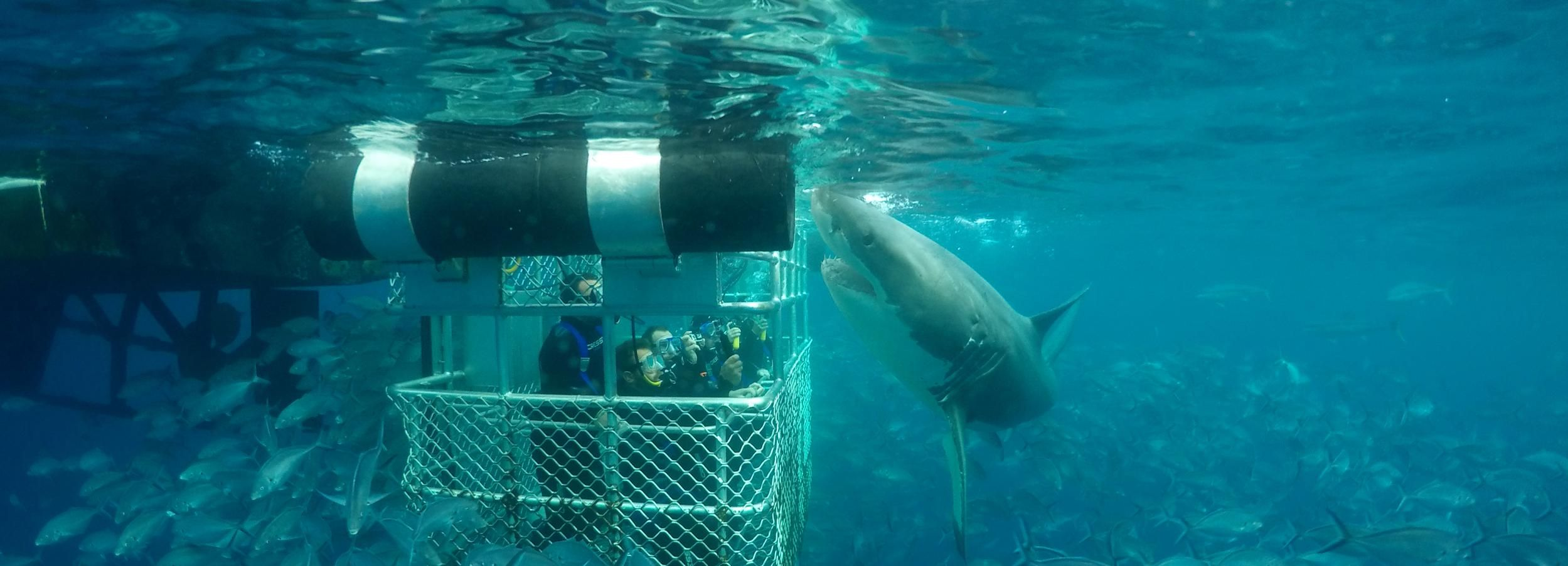 Great White Shark Cage One-Day Diving Experience