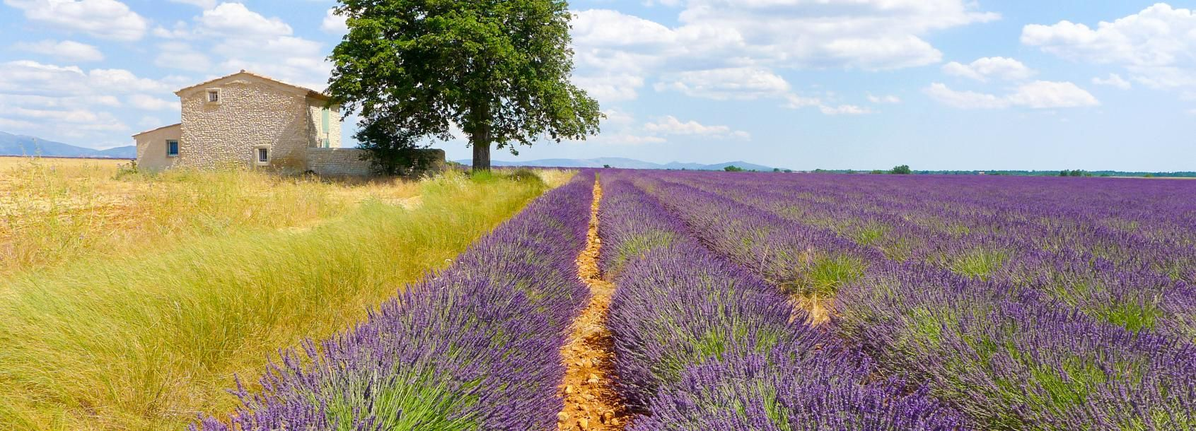 From Avignon: 1-Day Lavender Tour