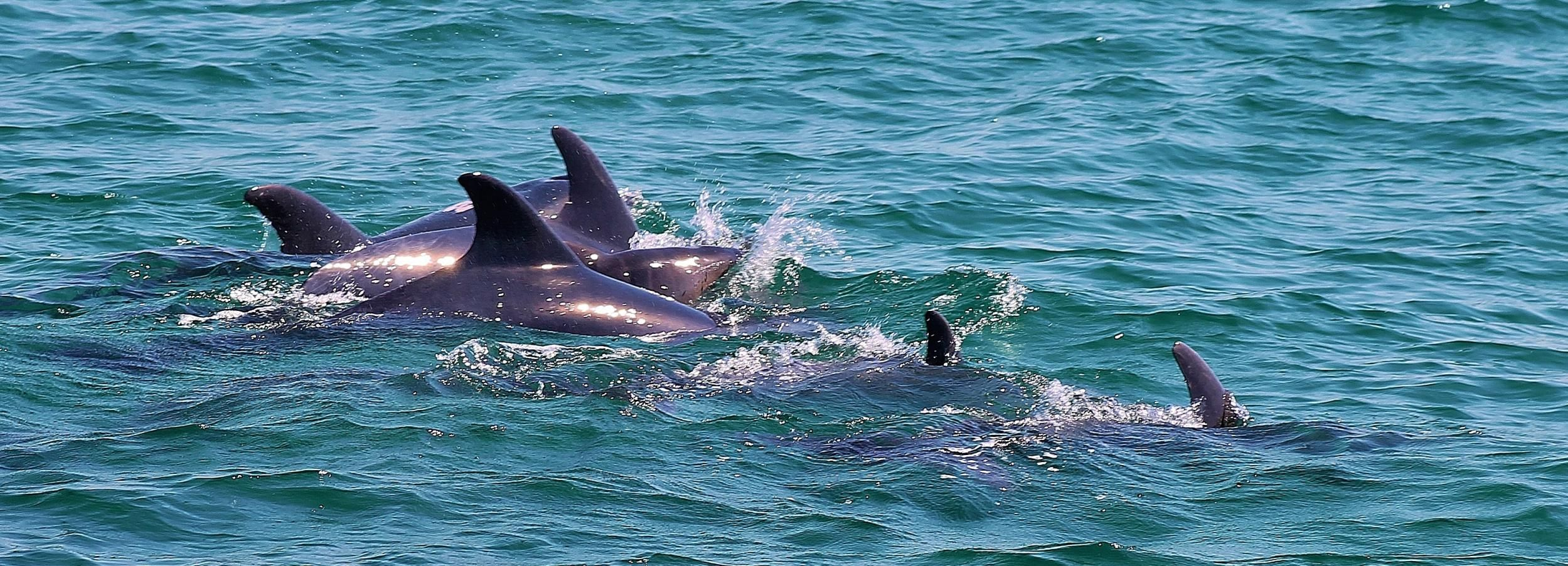 Full-Day Dolphin Watching Tour from Lisbon