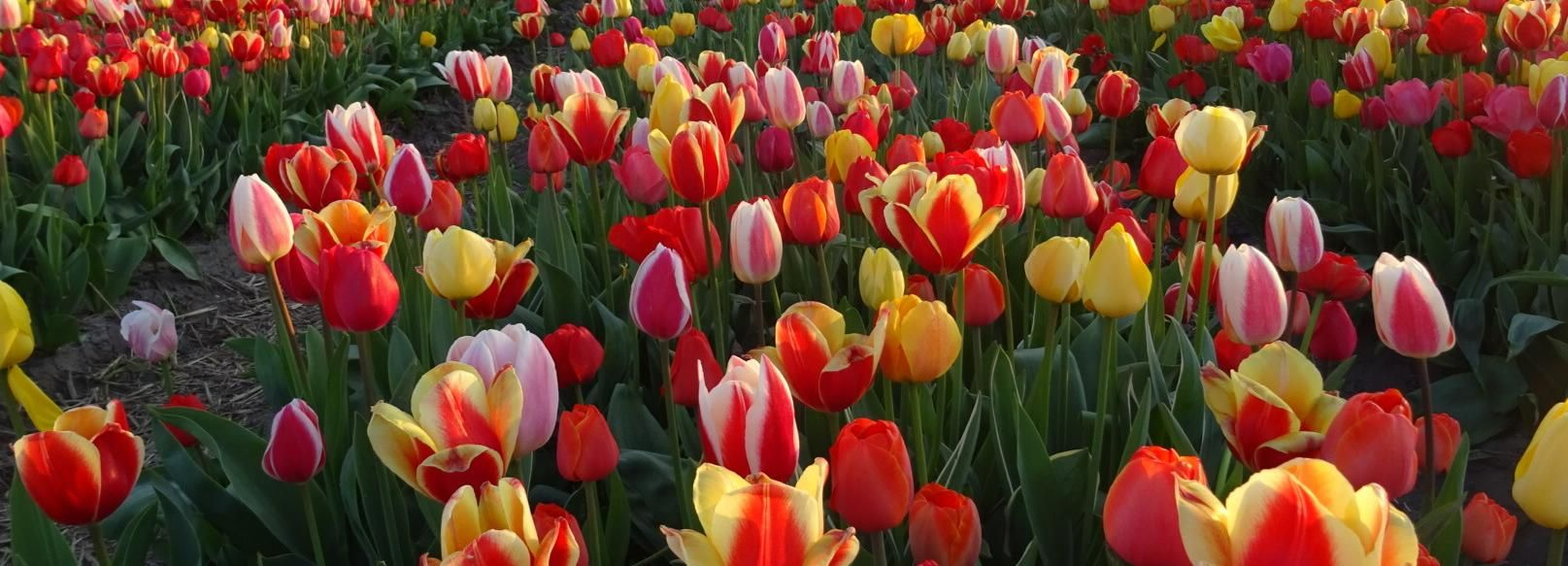 From Amsterdam: 5.5-Hour Half-Day Ultimate Tulip Experience