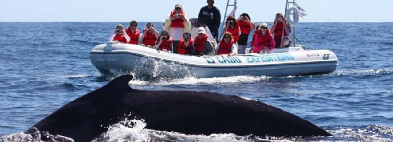Cabo San Lucas: experiencia de avistamiento de ballenas en el Mar de Cortés