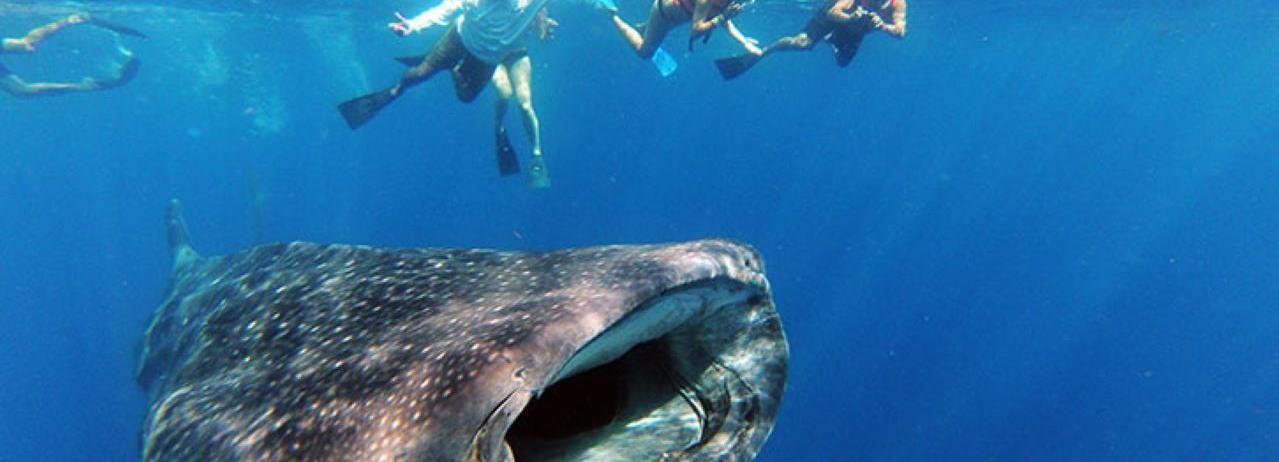 Cabo San Lucas: Experiencia de descubrimiento de tiburón ballena de día completo