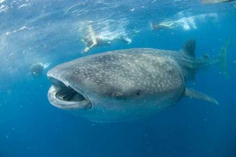 Cancún: Swim with Whale Sharks