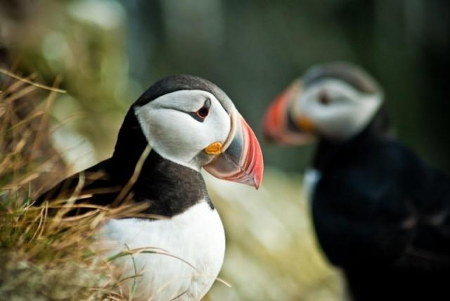 Reykjavik: papegaaiduikers spotten