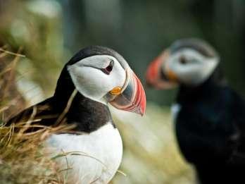 Reykjavik: Bootsfahrt mit Papageitaucher-Beobachtung