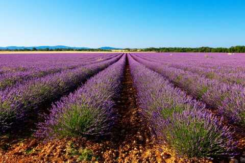 From Marseille: Full-Day Valensole Lavender Fields Tour