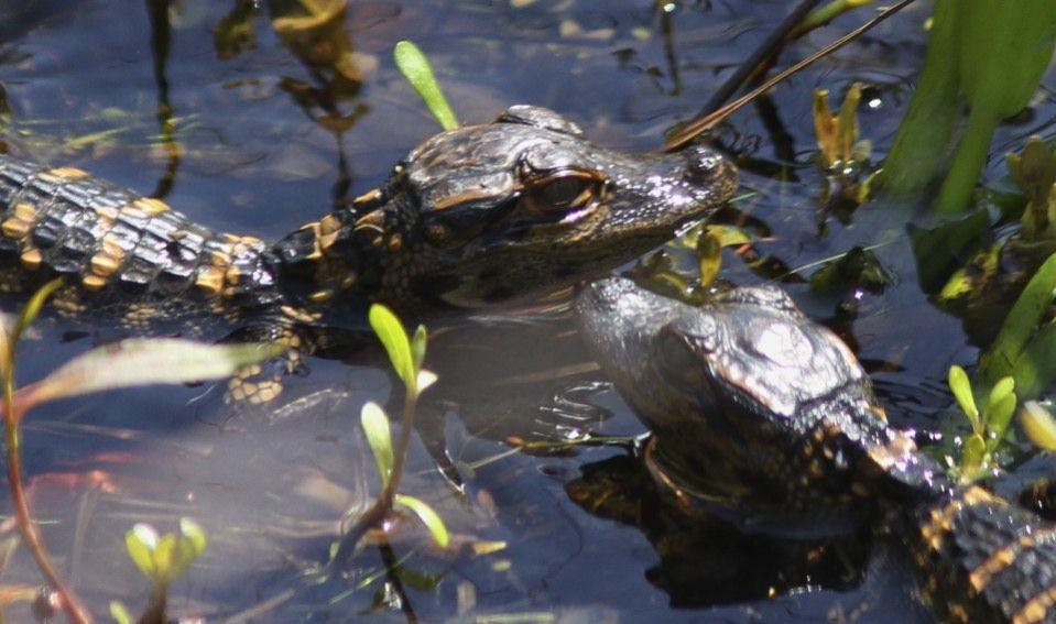 Orlando: 90-Minute Airboat Everglades Adventure Tour