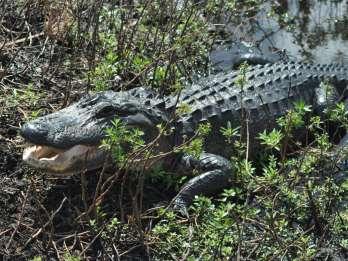 Kissimmee: 1-stündige Everglades-Abenteuer-Tour per Airboat