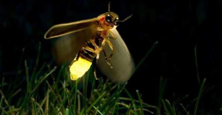 Kuala Selangor: Fireflies Tour with Batu Caves & Dinner
