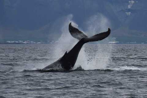 Whale Watching Express: 2-Hour Tour from Reykjavik