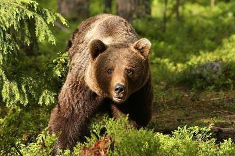 Transilvania: santuario de osos pardos y castillo de Drácula