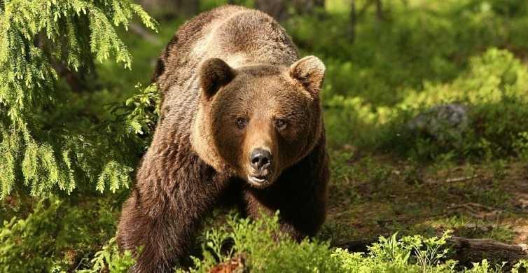 Brown Bears og Dracula Castle i Transylvania