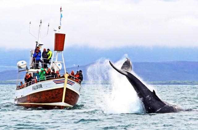 Vanuit Húsavík: traditioneel walvissen spotten
