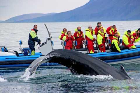 Húsavík: Big Whale Safari & Puffin Island Tour