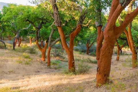 Alentejo Cork Forest Walk with Optional Lunch