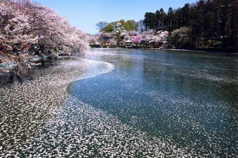 Nagano: 1-Day Snow Monkey & Cherry Blossom Tour in Spring