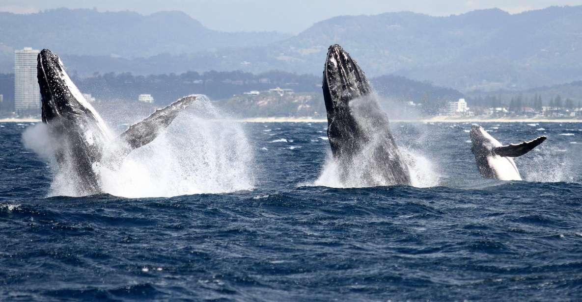 Tour di osservazione delle balene di Spirit of Gold Coast a 2,5 ore