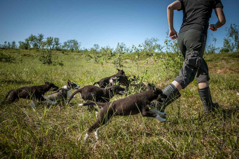 Tromsø: Welpenausbildung an der Husky-Farm