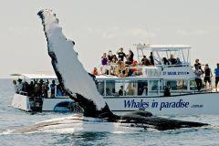 De Brisbane: Excursão de Observação de Baleias de 1 Dia
