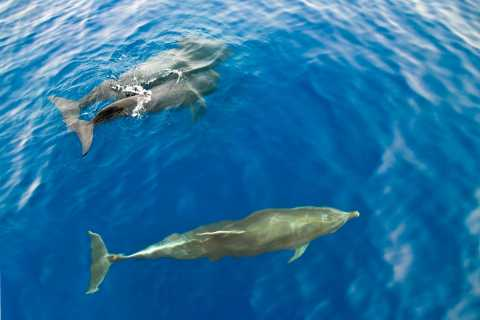 Gran Canaria: 2.5-Hour Dolphin Watching Boat Tour