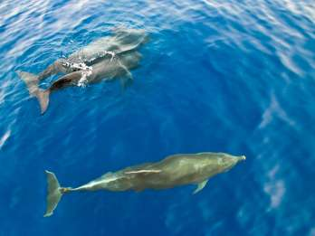 Gran Canaria: 2,5-stündige Dolphin-Watching-Bootstour