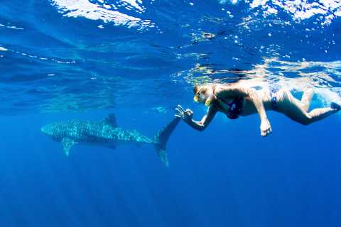 Ningaloo Whale Shark Swim by Powerboat from Exmouth
