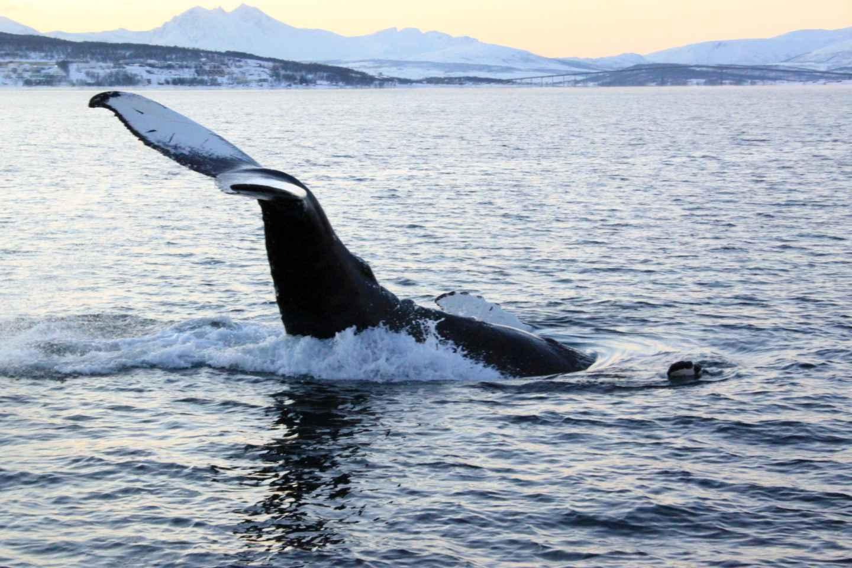 Ab Tromsø: All-Inclusive Wal- und Seevogel-Schiffsfahrt