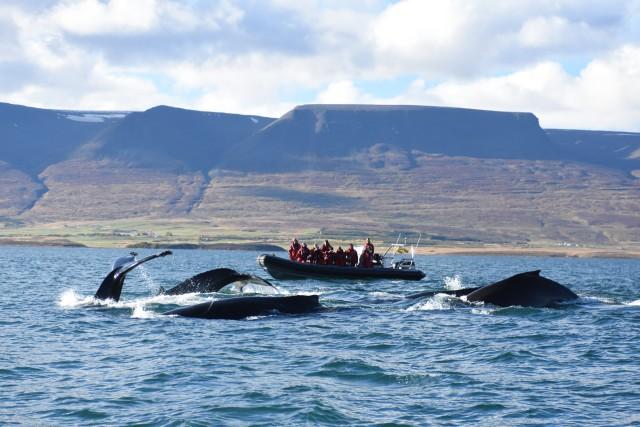 Akureyri: 2 uur walvisspotten met RIB speedboat