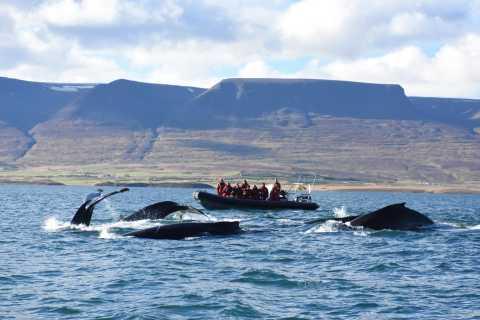 Akureyri: 2–Hour Whale Watching Express by RIB Speedboat