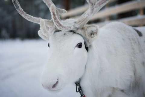 Rovaniemi: Snowmobile Safari to Reindeer Farm