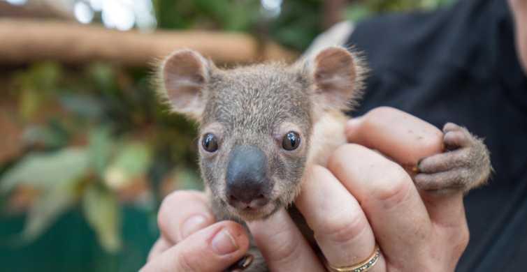 Currumbin Wildlife Sanctuary Ticket & VIP Koala Experience