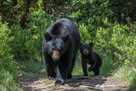 Jasper National Park: Evening or Morning Wildlife Search