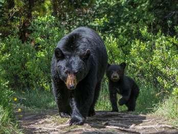 Jasper-Nationalpark: Wildtierbeobachtung am Morgen / Abend