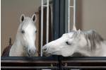 see the lipizzaner horses at spanish riding school