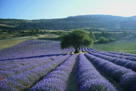 From Aix-en-Provence: Full-Day Lavender Tour to Valensole
