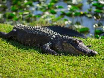 Ab Miami: Sumpfbootfahrt im Everglades Park & Wildtier-Show