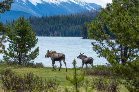 Tour de Jasper por la vida silvestre y las cascadas con Lakeshore Hike