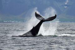Tour de Observação de Baleias saindo de Reykjavik