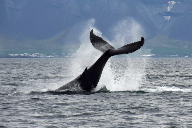 Vanuit Reykjavik: Walvissen Spotten