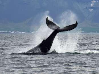 Ab Reykjavik: Wal- & Delfin-Beobachtung