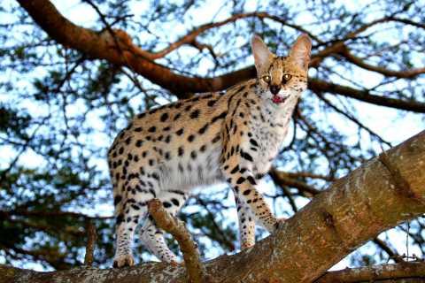 St. Lucia: Boots-Safari und private Tagestour zu den Wildkatzen von Em