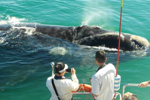 Hermanus: Whale and Dolphin Watching Boat Trip