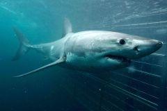 Mergulho Ecológico de Gaiola com Tubarões em Gansbaai