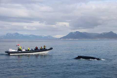 Desde Reikiavik: tour exprés de avistamiento de ballenas