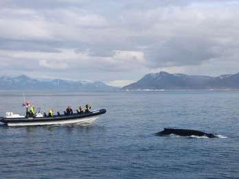 Ab Reykjavík: Whale Watching Express-Tour per RIB