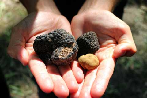 San Gimignano:Tuscany Truffle Hunting with Wine and Lunch