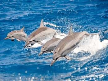 Oahu: Delfin Watching und Schnorcheln in Waianae