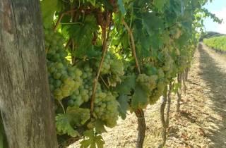 San Gimignano: Azienda Agricola San Quirico, Maxi Weintour