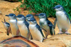 Phillip Island: Penguins, cangurus e coalas